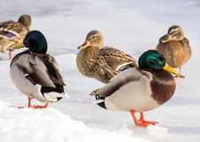 Κοπάδι των πρασινολαιμών στο χιόνι Πουλιά στη λίμνη το χειμώνα Στοκ Φωτογραφίες
