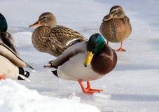 Κοπάδι των πρασινολαιμών στο χιόνι Πουλιά στη λίμνη το χειμώνα Στοκ Φωτογραφία
