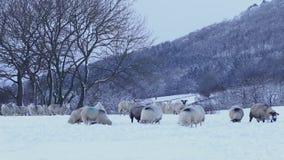 Κοπάδι των προβάτων κατά τη βοσκή στο χιόνι απόθεμα βίντεο