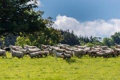 Κοπάδι των προβάτων που τρέχουν Dumfries στο σπίτι σε Cumnock, Σκωτία, U στοκ εικόνες