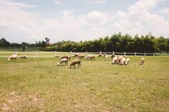 Κοπάδι των προβάτων στους τομείς αγροκτημάτων Στοκ Φωτογραφία