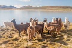 Κοπάδι των προβατοκαμήλων λάμα που βόσκουν από μια λίμνη σε βολιβιανό Altipla στοκ εικόνες