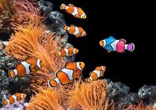 Κοπάδι των προτύπων clownfish και ένα ζωηρόχρωμο ψάρι Στοκ Εικόνες