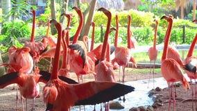 Κοπάδι των ρόδινων φλαμίγκο στο ζωολογικό κήπο απόθεμα βίντεο