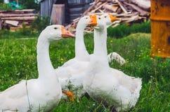 Κοπάδι των χήνων στο χωριό σε ένα λιβάδι Στοκ Εικόνες