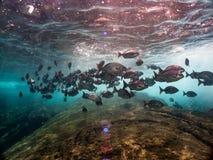 Κοπάδι των ψαριών υποβρύχιο Laje de Santos, Βραζιλία στοκ εικόνες