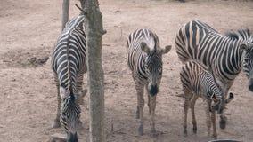 Κοπάδι των όμορφων ριγωτών περιπάτων zebras στην ξηρά χλόη στο ζωολογικό κήπο απόθεμα βίντεο