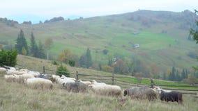 Κοπάδι των sheeps στα ομιχλώδη λιβάδια φιλμ μικρού μήκους