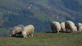 Κοπάδι των sheeps στα ομιχλώδη λιβάδια απόθεμα βίντεο