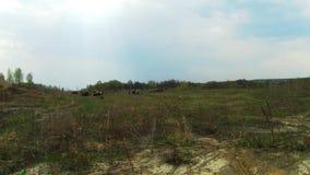 Κοπάδι των sheeps στον τομέα φιλμ μικρού μήκους