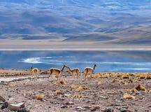 Κοπάδι των vicuñas στην ακτή της λιμνοθάλασσας Miscanti στοκ φωτογραφία με δικαίωμα ελεύθερης χρήσης