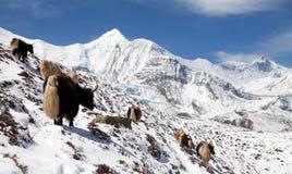 Κοπάδι των yaks, σειρά Annapurna, Νεπάλ Ιμαλάια Στοκ Εικόνα