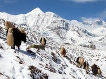 Κοπάδι των yaks, σειρά Annapurna, Νεπάλ Ιμαλάια Στοκ φωτογραφία με δικαίωμα ελεύθερης χρήσης