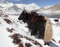 Κοπάδι των yaks, σειρά Annapurna, Νεπάλ Ιμαλάια Στοκ Εικόνες