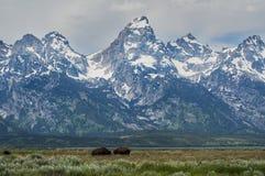 Κοπάδι Buffalo στο μεγάλο εθνικό πάρκο Teton Στοκ Φωτογραφίες