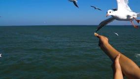 Κοπάδι Seagulls μετά από την κρουαζιέρα shipand που τρώει το ψωμί από τα χέρια των ανθρώπων απόθεμα βίντεο