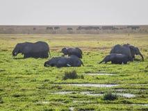 Κοπάδια ελεφάντων Στοκ Εικόνες
