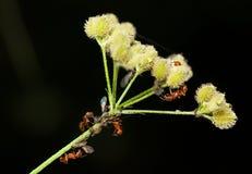 Κοπάδια μυρμηγκιών aphids Στοκ εικόνα με δικαίωμα ελεύθερης χρήσης