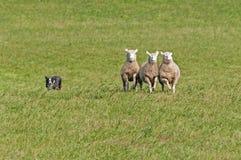 Κοπάδια σκυλιών αποθεμάτων στα πρόβατα (Ovis aries) Στοκ φωτογραφίες με δικαίωμα ελεύθερης χρήσης