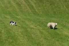 Κοπάδια σκυλιών προβάτων στην ομάδα προβάτων & x28 Ovis aries& x29  Στοκ εικόνες με δικαίωμα ελεύθερης χρήσης