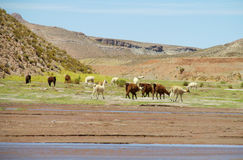Κοπάδι λάμα κοντά στον ποταμό στοκ φωτογραφία