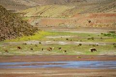Κοπάδι λάμα κοντά στον ποταμό στοκ φωτογραφία με δικαίωμα ελεύθερης χρήσης