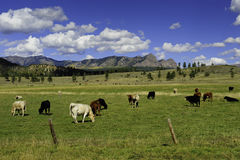 κοπάδι αγελάδων Στοκ Εικόνα
