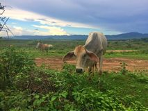 Κοπάδι αγελάδων στο λιβάδι Στοκ Εικόνες