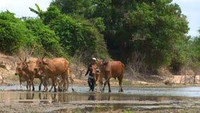 Κοπάδι αγελάδων φιλμ μικρού μήκους