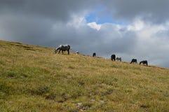 Κοπάδι αλόγων στο λιβάδι υψηλό σε ένα οροπέδιο βουνών Στοκ Φωτογραφία