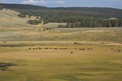 Κοπάδι βισώνων που περιπλανάται την κοιλάδα του Hayden στο εθνικό πάρκο Yellowstone, W Στοκ εικόνες με δικαίωμα ελεύθερης χρήσης