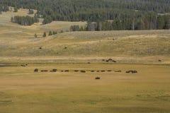 Κοπάδι βισώνων που περιπλανάται την κοιλάδα του Hayden στο εθνικό πάρκο Yellowstone, W Στοκ φωτογραφίες με δικαίωμα ελεύθερης χρήσης