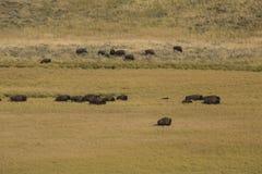Κοπάδι βισώνων που περιπλανάται την κοιλάδα του Hayden στο εθνικό πάρκο Yellowstone, W Στοκ Εικόνες