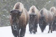 Κοπάδι βισώνων που περπατά στο χιόνι στοκ εικόνα