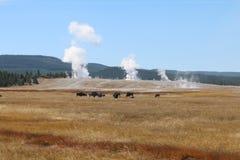 Κοπάδι βισώνων των αμερικανικών βούβαλων σε ένα λιβάδι μπροστά από τη χαμηλότερη λεκάνη του εθνικού πάρκου Yellowstone Στοκ εικόνα με δικαίωμα ελεύθερης χρήσης