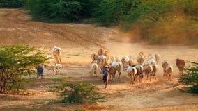Κοπάδι βοοειδών που περνά από το καταπληκτικό τοπίο ηλιοβασιλέματος Bagan Το Μιανμάρ (Βιρμανία) απόθεμα βίντεο