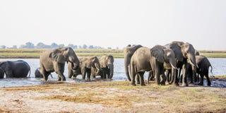 Κοπάδι ελεφάντων που πλησιάζει μέσω του ποταμού Στοκ εικόνες με δικαίωμα ελεύθερης χρήσης