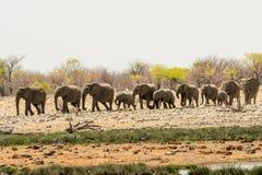 Κοπάδι ελεφάντων που συγκεντρώνεται στο waterhole Στοκ Φωτογραφία