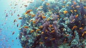 Κοπάδι στα ψάρια anthias στην κοραλλιογενή ύφαλο απόθεμα βίντεο