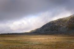 Κοπάδι ταράνδων που βόσκει τους ευρείς τομείς χλόης των εθνικών πεδιάδων πάρκων Sarek, Σουηδία Στοκ Φωτογραφία