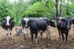 Κοπάδι της αγελάδας γάλακτος στο αγρόκτημα Στοκ εικόνες με δικαίωμα ελεύθερης χρήσης