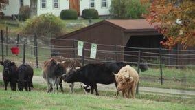 Κοπάδι της βοσκής βοοειδών (5 9) απόθεμα βίντεο