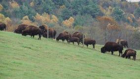 Κοπάδι της βοσκής βοοειδών (9 9) φιλμ μικρού μήκους