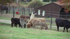 Κοπάδι της βοσκής βοοειδών (8 9) φιλμ μικρού μήκους