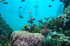 Κοπάδι της θάλασσας goldie Στοκ Εικόνες