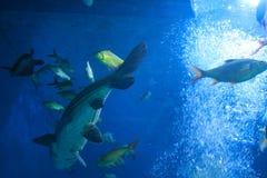 Κοπάδι της θάλασσας goldie Στοκ Φωτογραφίες