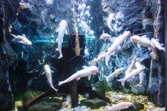 Κοπάδι της θάλασσας goldie Στοκ Φωτογραφία