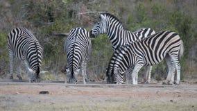 Κοπάδι της κατανάλωσης Zebras από το waterhole απόθεμα βίντεο