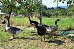 Κοπάδι της τροφής γαλοπουλών και χήνων με την αγροτική αυλή Η εσωτερική οικογένεια χήνων βόσκει παραδοσιακό του χωριού barnyard Στοκ Εικόνα