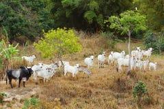 Κοπάδι του βραζιλιάνου ταύρου βοοειδών βόειου κρέατος - nellore, άσπρη αγελάδα Στοκ φωτογραφία με δικαίωμα ελεύθερης χρήσης